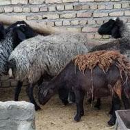 فروش هشت راس گوسفندمیش بی بره