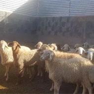 فروش گوسفند زنده پروارشده
