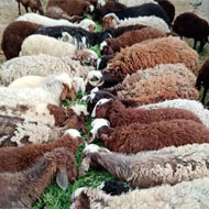 فروش 100 راس گوسفند میش و بره