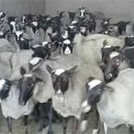 فروش گوسفند رومانوف