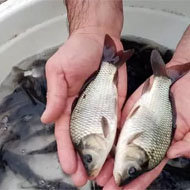 فروش بچه ماهی پرورشی مناسب استخر کشاورزی