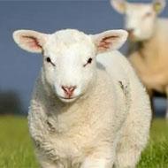 گوسفند زنده تحویل درب منزل