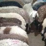 فروش گوسفند و بره