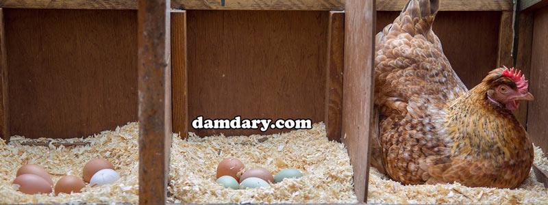 خوراک مرغ های تخم گذار خارج از قفس