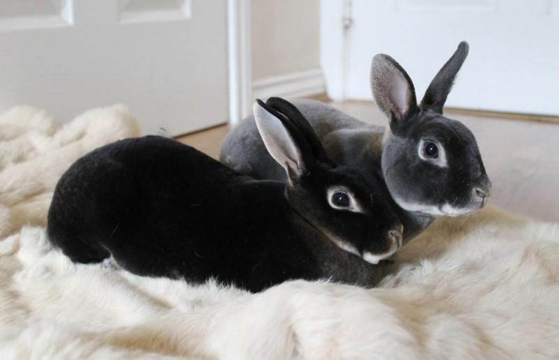بهترین و محبوب ترین نژادهای خرگوش خانگی
