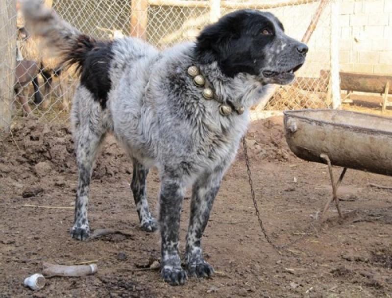 آشنایی با سگ نگهبان ایرانی نژاد قدرجونی