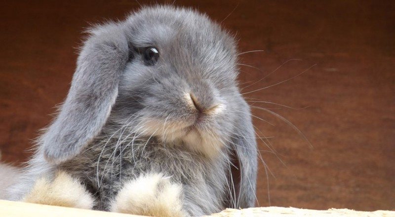 چگونه سن خرگوش ها را تشخیص دهیم؟