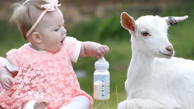 تعبیر خواب خوردن شیر بز
