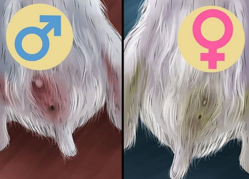 نحوه تشخیص جنسیت همستر