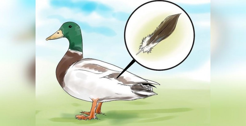نحوه تشخیص جنسیت اردک نر و ماده