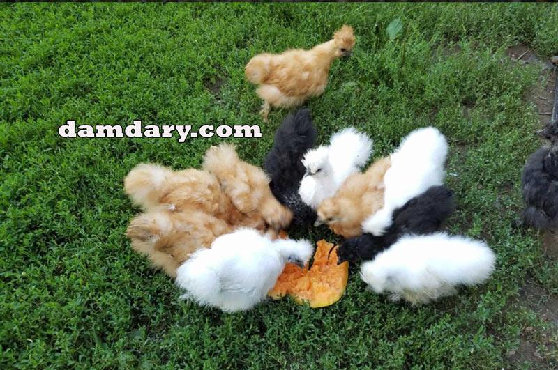 آشنایی با مرغ و خروس ابریشمی چینی