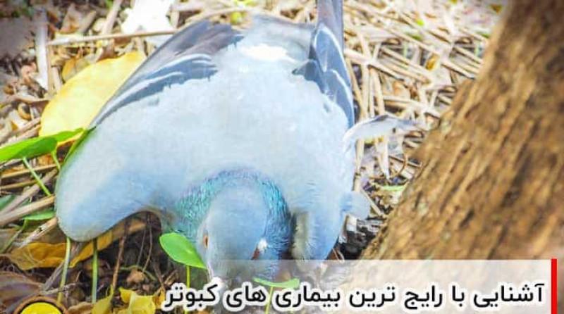 انواع بیماری های کبوتر