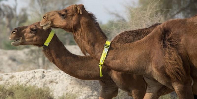 صادرات شتر آزاد شد