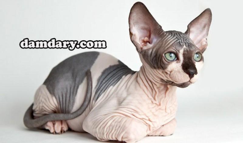 آشنایی با نژاد گربه بی مو یا اسفینکس