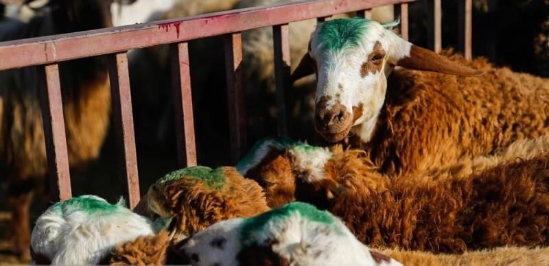 قاچاق دام و افزایش هزینه تولید علت اصلی افزایش قیمت گوشت قرمز