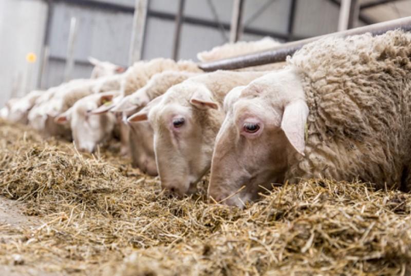 نکات مهم در جیره نویسی گوسفند و بز