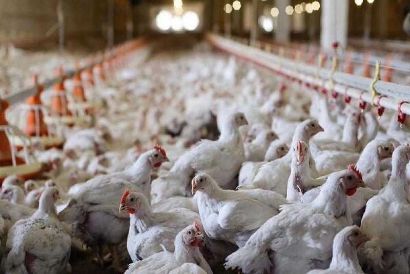 مرغداران خواستارکنترل نرخ مولفههای تولید شدند/انتقاد از آمارسازی