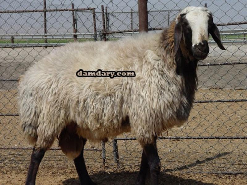 گوسفند شال  با درصد دو قلوزایی بالا