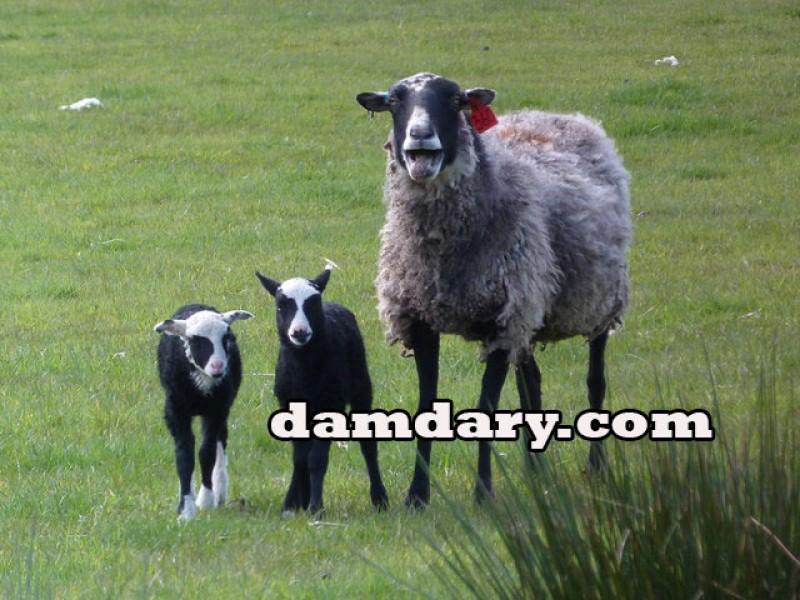 بهترین نژاد گوسفندان چند قلوزا برای پرواربندی چیست؟