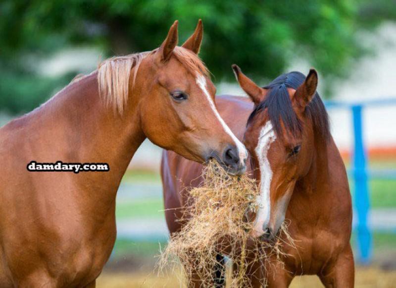 خوراک و تغذیه اسب