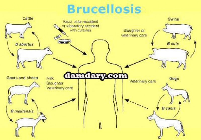 بیماری بروسلوز دامی