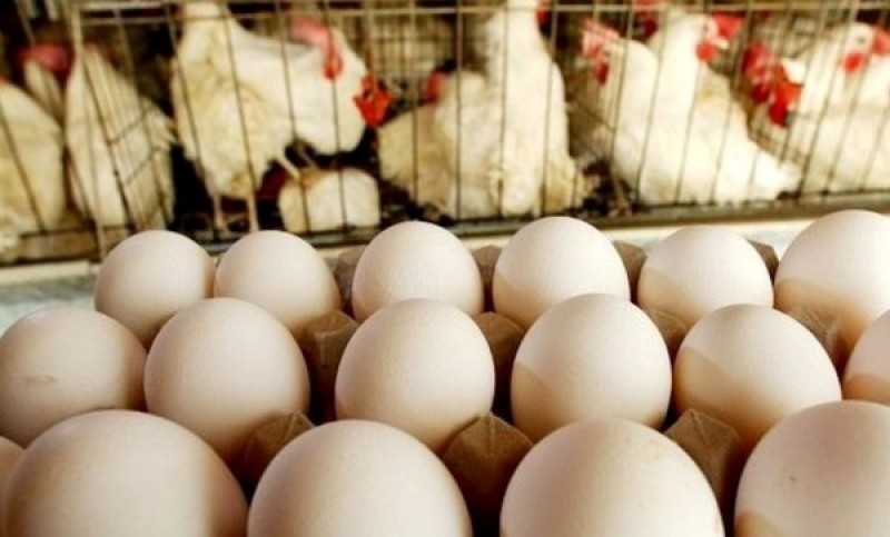 مرغداران برای خرید تضمینی تخم مرغ / ادامه زیان به معنی نوسان در بازار است