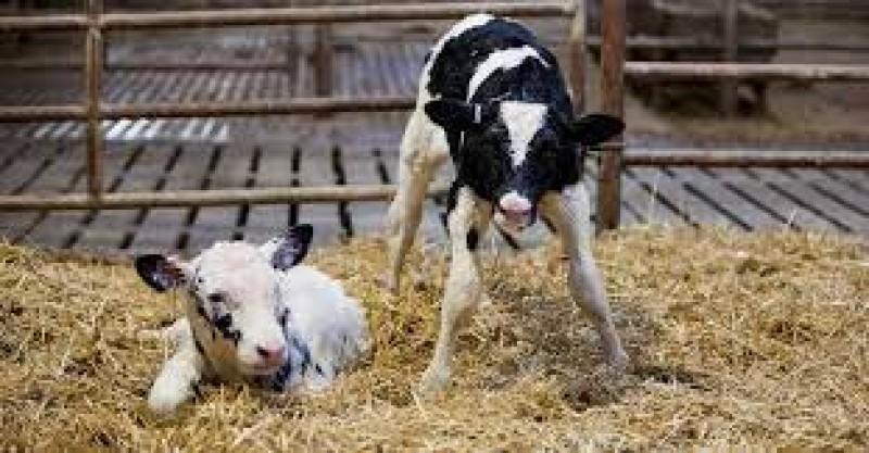 مراقبت از گوساله های تازه متولد شده