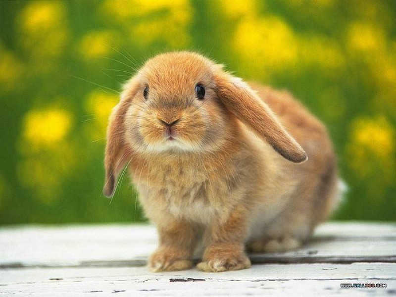 پرورش و نگهداری خرگوش لوپ