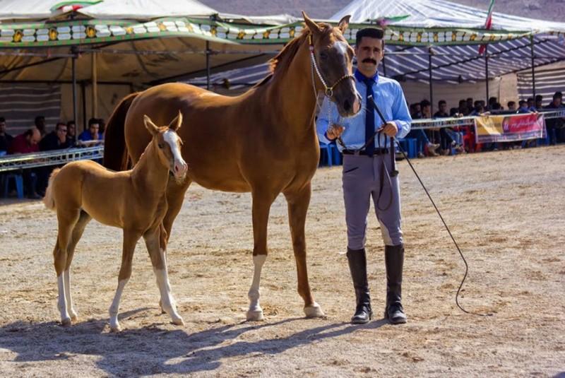 آشنایی با اسب نژاد دره شوری