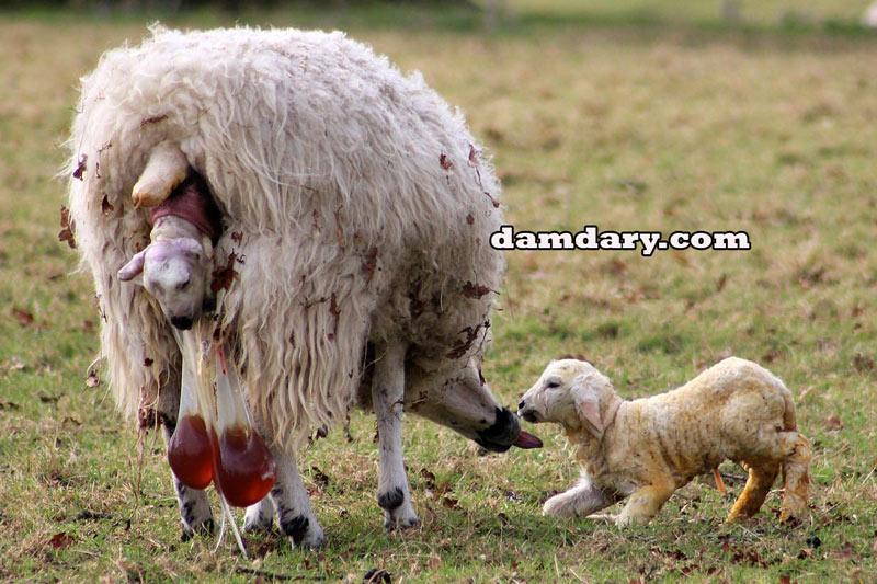 دو قلوزایی گوسفندان به روش فلاشینگ