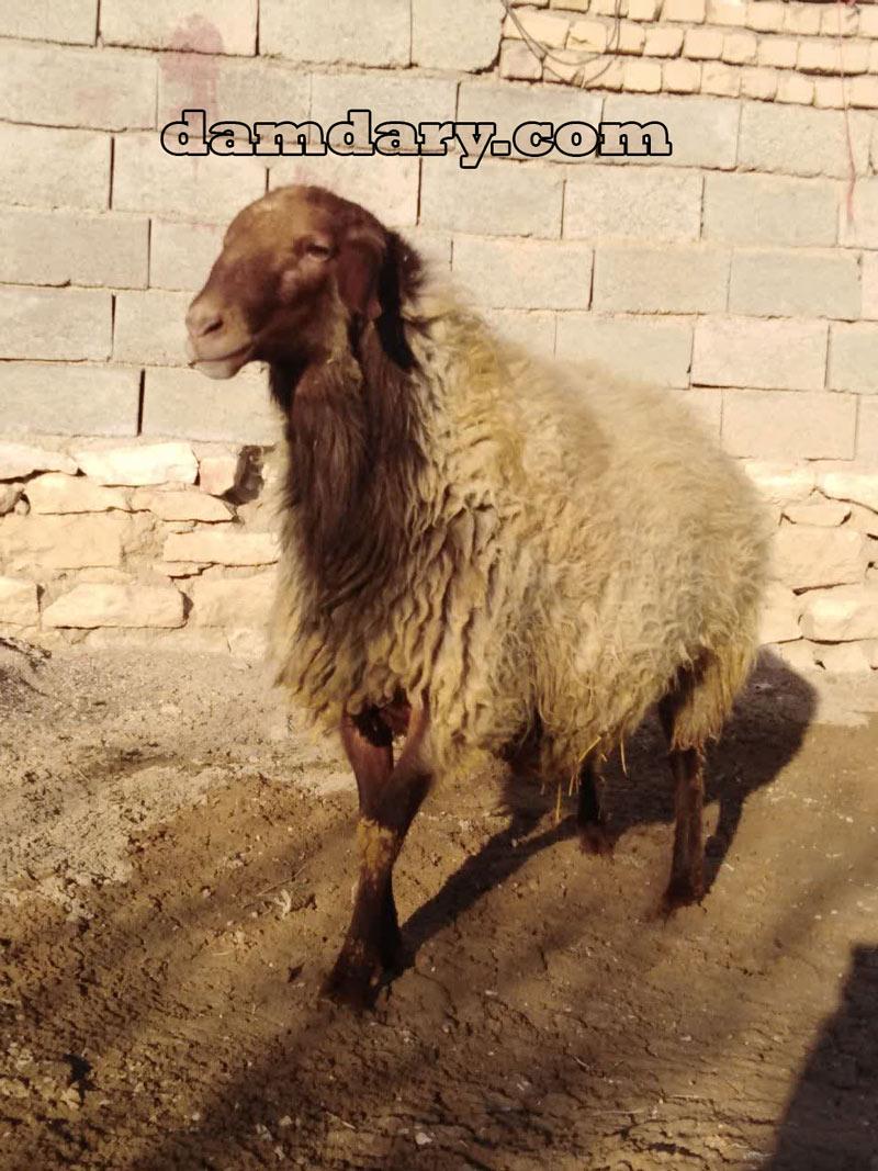 گوسفندان نژاد مهربان با 13 درصد چندقلوزایی